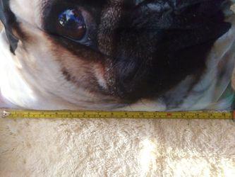 Pug Pictures & Pillow Thumbnail