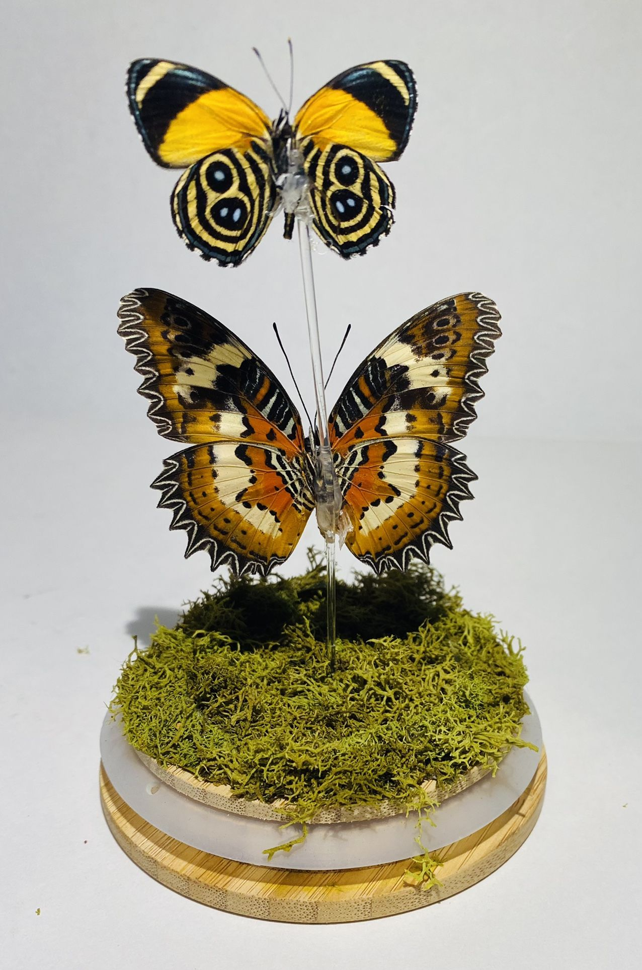 Two Real Butterflies Displayed in  Glass Jar, Taxidermy Art, Entomology, Oddities, Curiosities, Real Butterfly, Cottagecore, Butterfly Decor