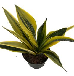 "La Rubia Snake Plant - Sansevieria - 6"" Pot - Collector's Series Thumbnail"