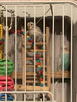 2 parakeets, the cage with stand and food Thumbnail