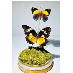 Two Real Butterflies Displayed in  Glass Jar, Taxidermy Art, Entomology, Oddities, Curiosities, Real Butterfly, Cottagecore, Butterfly Decor Thumbnail